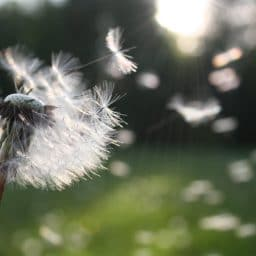 A dandelion with seeds.